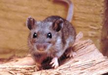 hantavirus - deer mouse